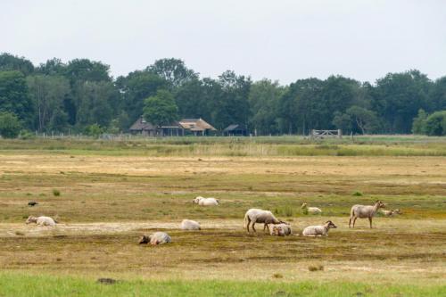 Schapen (Drenthe)