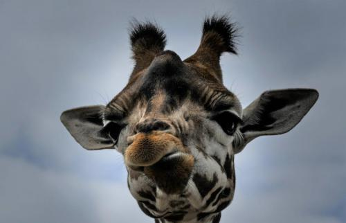 Maffe giraffe